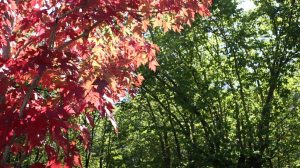 Red maple tree 2 full HD still gallery image