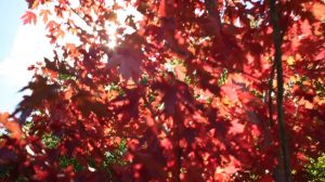 Red maple tree slow motion 1 gallery images