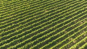 Royalty Free drone video of Australian Winery Grapevines in Summer 4 img