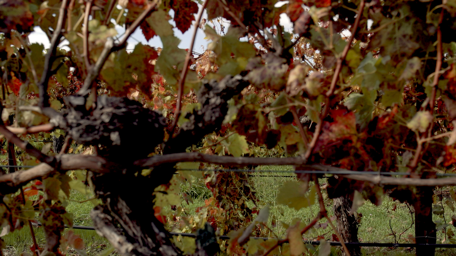 Close up views through vines during autumn at Australian Vineyard
