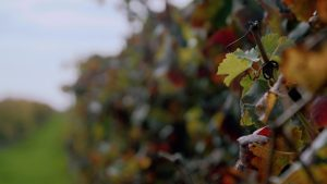 Grape vines in vineyard looking down line1