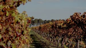 Grape vines in winery during autumn