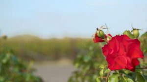 Grapevines in background shifting focus to red rose in foreground at australian winery