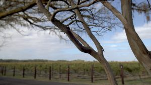Tree in front of vines at vineyard img